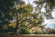Boxhill Tree